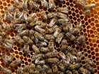 New pesticide study offers cause of bee decline