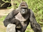 Harambe's death could disrupt gorilla's family