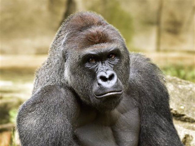 No recommendation on charges in gorilla incident