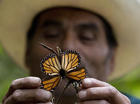 Storms led to deaths of millions of monarchs