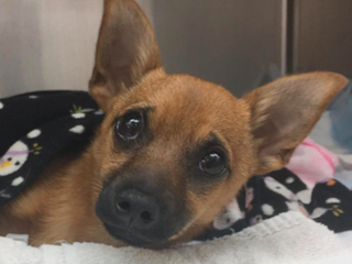 Police find puppy overdosed on heroin