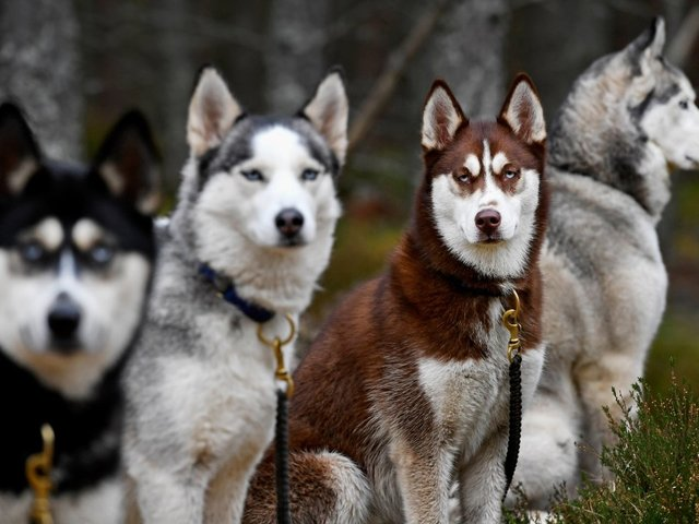 Direwolves Of 'Game Of Thrones' Lead To Dire Problems For Real Dogs