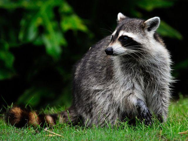 Zombie-Like Raccoons Terrifying Northeast Ohio Residents