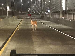 Do deer whistles prevent deer-car accidents?